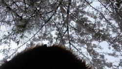Cherry blossom hood